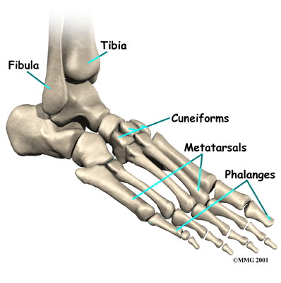 Foot Anatomy - Podiatrist San Angelo, TX