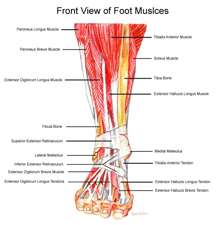 Front of FootExtensor Digitorum Foot